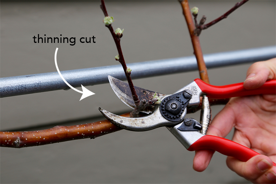 Fruit Tree Pruning | Bistro OneSix