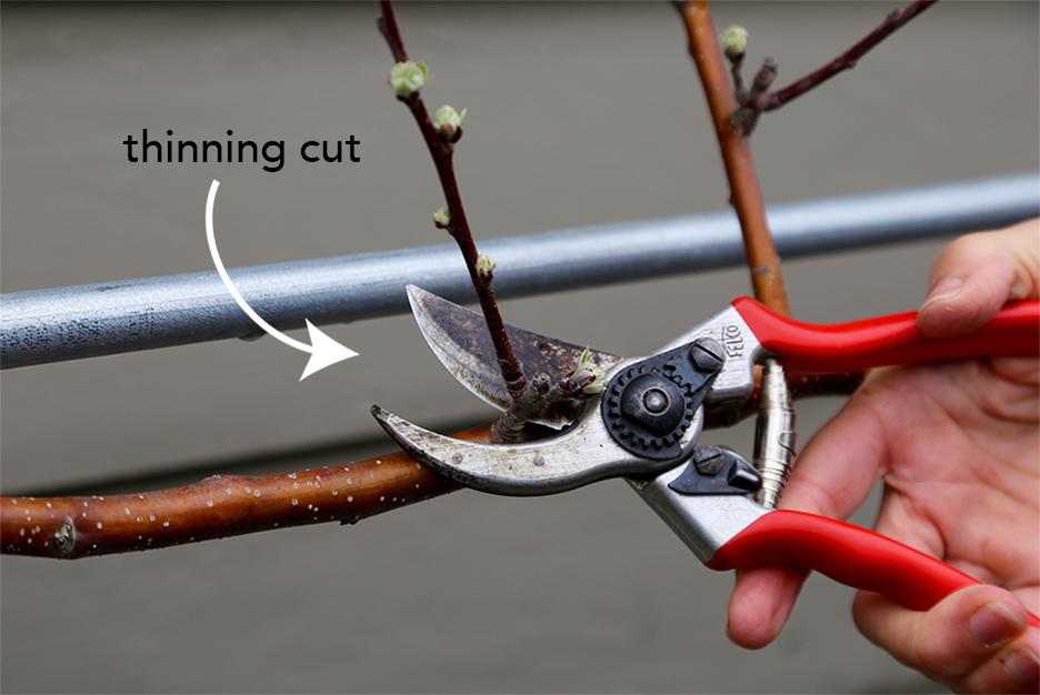 Fruit Tree Pruning | Bistro OneSix